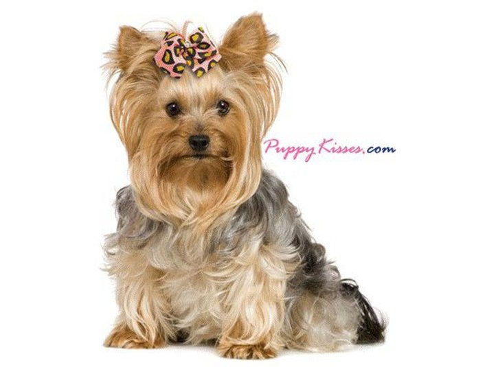 Yorkshire terrier owner: тамара фридлендере kennel fridstail author: анастасия котова