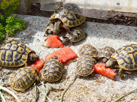 Tortoises Available( Both Babies and Sub to Adults ) - Husdjur/Djur