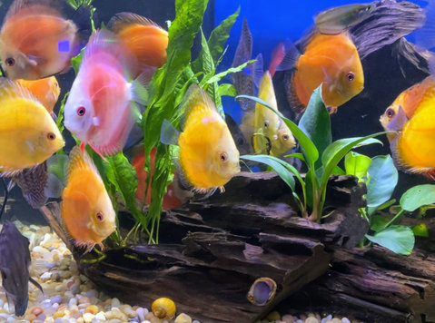 New Discus Fish Shipment in. - Pets/Animals