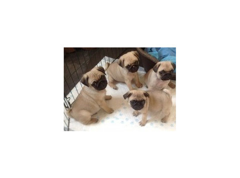 Very Affordable Pug Puppies Available - Pets/Animals