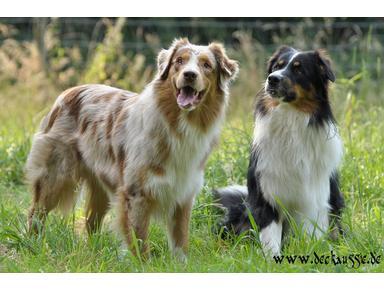 Australian Shepherd Welpen und Deckrüden Vermittlung - Tierdienste