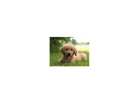 Golden Puppies by Puppies in Louisiana - Pet services