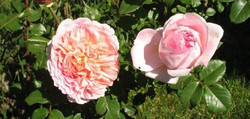 23rd Annual Own-Root Rose Sale