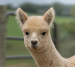 Bent Limb Farm Alpaca Shearing and More