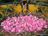 Festival Of Roses, Bulgaria