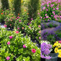 Flowers Bursting Saturday Special - 40 Stems for $15 - U-pick Flower Garden and Outdoor Cafe