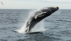 Run the Trails for the Whales Virtual 5k Fun-Raiser!
