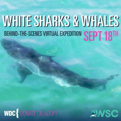 White Sharks And Whales! Virtual Expedition September 18th, 7:00 Pm